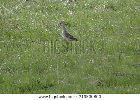 sitting in the grass a small marsh bird snipe