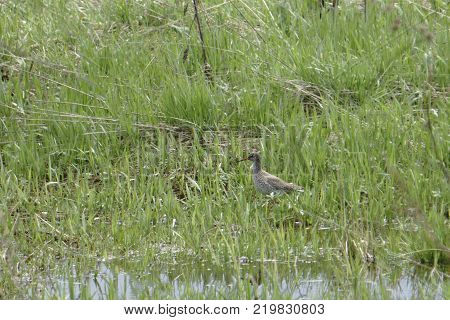a small marsh bird snipe sitting in the grass