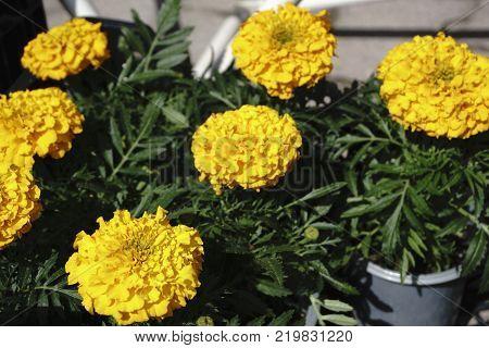 Yellow flower beautiful ooh in pots for seedlings