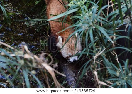 Photo Picture of Lesser Red Panda Mammal Animal