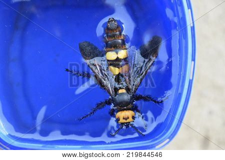 Megascolia maculata. The mammoth wasp. Wasp Scola giant circle in the water.