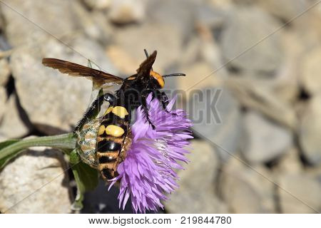 Megascolia maculata. The mammoth wasp. Scola giant wasp on a flower.