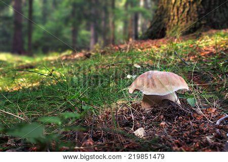 Penny bun (Boletus edulis) in summer forest