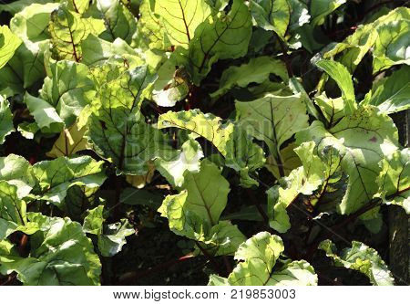 beet root in ground cultivated crop in the field