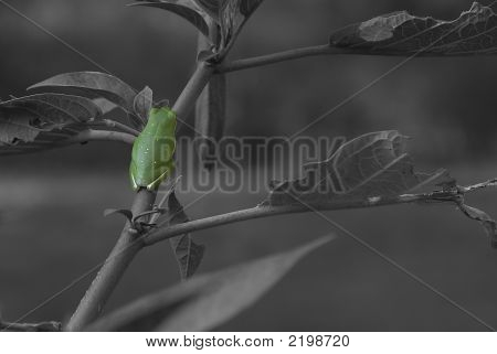 Green Tree Frog Popped