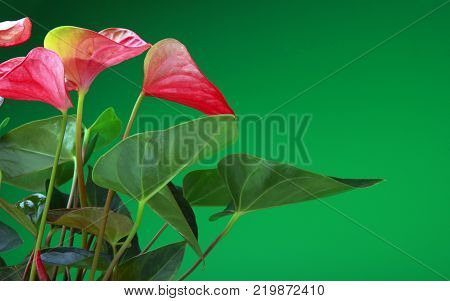 Pink Anthurium Blossom Flower studio quality colour background