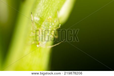 small aphid on a green leaf in the open air .