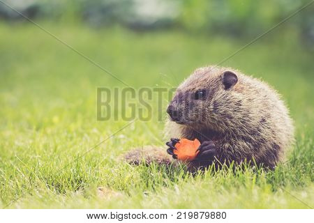 Small Groundhog (Marmota Monax) holds a half-eaten carrot sitting in the green grass