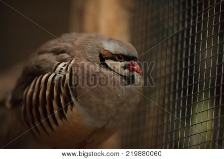 Portrait Of A Beautiful Bird Chukar Partridge Farm Partridge