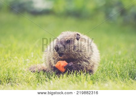 Young Groundhog (Marmota Monax) holding a half-eaten carrot and mouth open