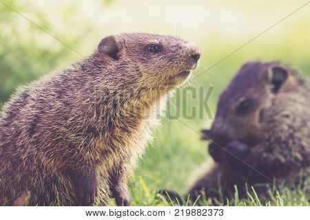 Mama Groundhog (Marmota Monax) keeps a watchful eye on little one on a spring morning in green grass