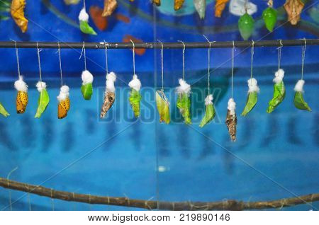 a variety of cocoons of butterflies hang on a stick