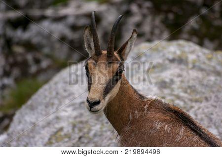 Tatra Chamois ( Rupicapra rupicapra tatrica ) in natural environment . Poland.