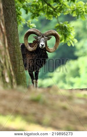 Ovis musimon. Beautiful nature. Wild nature of Czech. Autumn, winter and spring colors. A majestic animal. In the forest. Detail in nature. Muflon is the only representative of the genus of wild sheep
