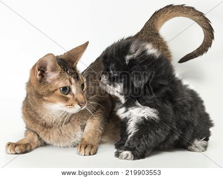 Cat and the puppy in studio on a neutral background