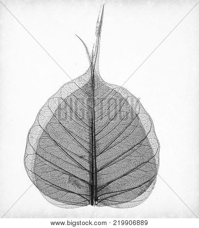 macro of an Asen tree leaf in monocrome