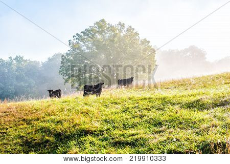 Silhouette Of Three Black Cows On Hill Of Farm Grazing On Pasture In Fog And Mist With Blue Sky, Tre