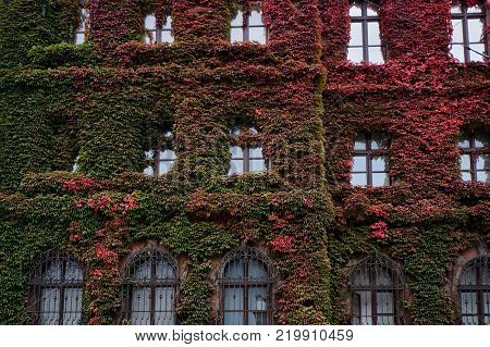 Building of The National Museum in Wroclaw Poland, covered in gorgeous ivy, designed by an architect Karl Friedrich Endell and erected in 1883 - 1886.