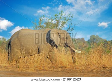 Large Bull Elephant (Loxodonta) with nice large tusks walking through the African Bush with a cloudy blue sky South Luangwa National Park Zambia