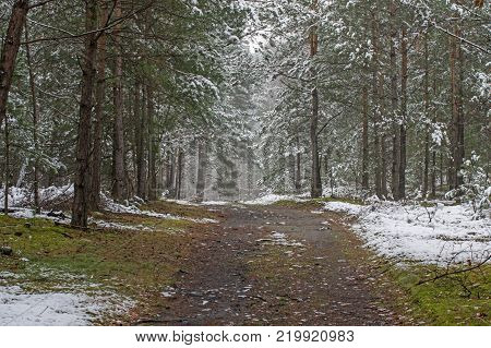 A high pine forest. The tree crowns and the ground are covered with a thin layer of snow. It is a cloudy day. A forest, dirt road runs between the trees. Between the patches of snow, the substrate is covered with moss and needles.