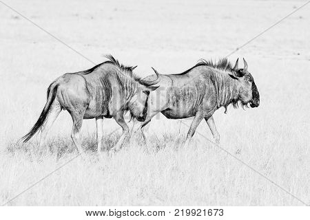 Two blue wildebeest Connochaetes taurinus also called a white-bearded wildebeest or brindled gnu in monochrome walking in grass