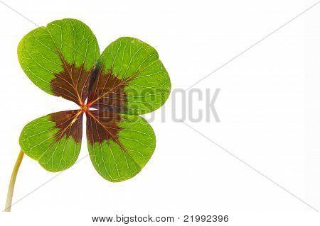 leaf clover