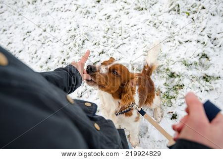 Young Welsh Springer Spaniel on a leash in the first winter snow in the park with his mistress feeding him with little dog bites