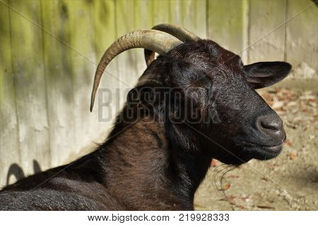 black goat horns with right side profile