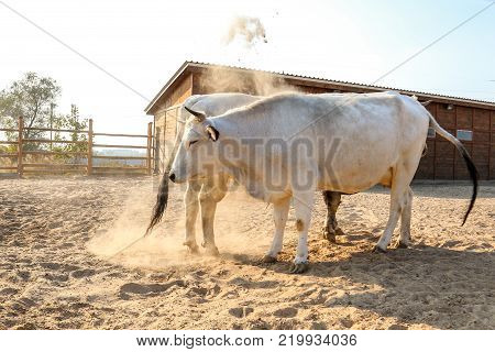 A bull and a cow on a sweet date at the farm. The bull rises hoof and makes dust.