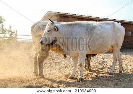 A bull and a cow on a sweet date at the farm. The bull rises hoof and makes dust .