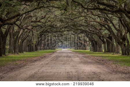 Dirt Road Through Tunnel of Live Oak Trees in Savannah