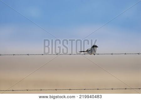 A loggerhead shrike perched on barbed wire, photographed in central Kansas.