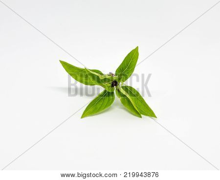 Fresh Thyme leaf on the stalk was isolated on the white background