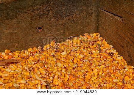 Shelled golden corn kernels are stored in a wooden grain bin