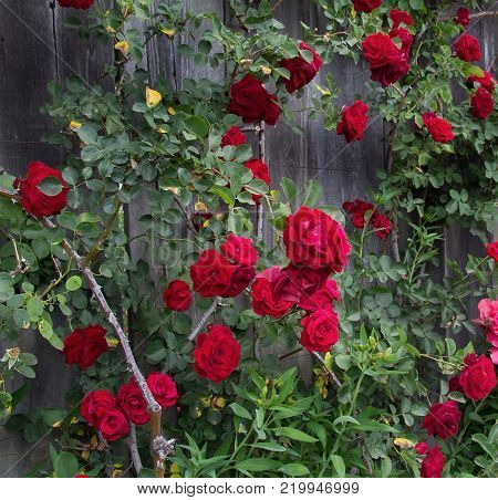 Red climbing rose at old wooden fence background