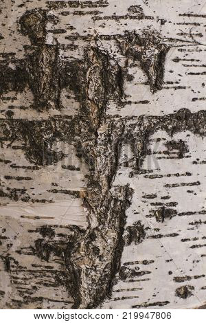 texture of birch bark in black and white