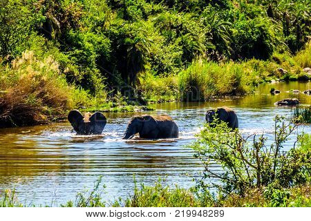 Elephants playing in the Ga-Selati River, a tributary of the Olifants River, near the town of Phalaborwa in Kruger National Park in South Africa