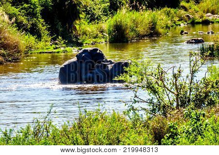 Elephants Mating in the Ga-Selati River, a tributary of the Olifants River, near the town of Phalaborwa in Kruger National Park in South Africa
