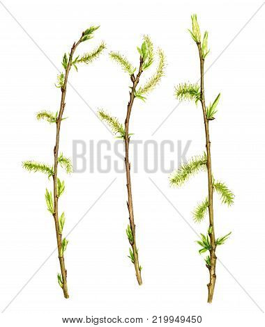 watercolor wood willow twigs with green leaves and catkins, isolated hand drawn nature objects, spring tree branches, sticks, hand drawn illustration