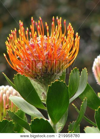 LEUCOSPERMUM CORDIFOLIUM BELONGS TO THE PROTEA FAMILY AND IS INDIGENOUS TO SOUTH AFRICA AND IS ALSO KNOWN AS THE PINCUSHION PROTEA
