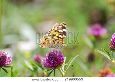 Painted Lady, Vanessa cardui, extracting nectar from an flower. Butterfly on wild meadow