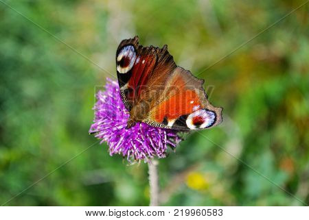 European Common Peacock butterfly (Aglais io, Inachis io) Collecting nectar on wild flowers