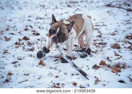 French Bulldog dog playingin with stick  in winter park