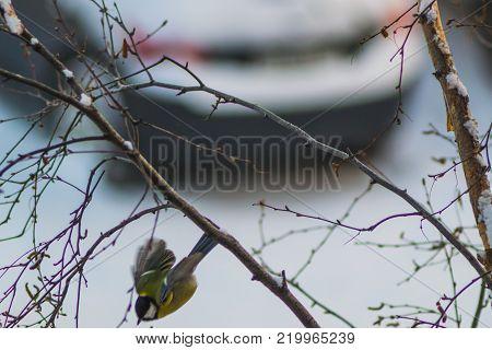 titmouse bird winter yellow on branch winter city