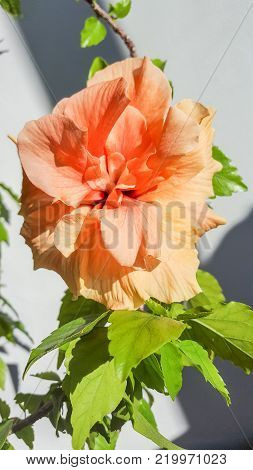 Yellow-orange Japanese Rose, Rosa Rugosa, Hibiscus Rosa-sinensis, Close Up Isolated