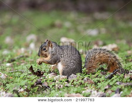 A close up shot of a Eastern Fox Squirrel (Sciurus niger) eating from the forrest floor. poster