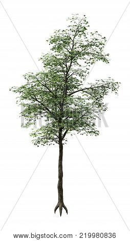 3D Rendering Japanese Maple Tree On White