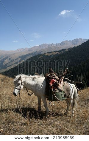 A white horse with a trophy deer after a hunt in the mountains of Tien Shan. A horse with a load of horns, skins and meat of wild deer. Hunting during the rut of deer in Kazakhstan.