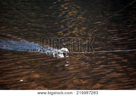 Fishing lure sets the trail on the water. Blesna for catching of a fish is removed after casting. A turbulent trail of on the surface of the river fresh water from imitation fish