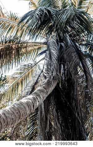 The coconut tree and dried leaves are very cluttered, in pale colors